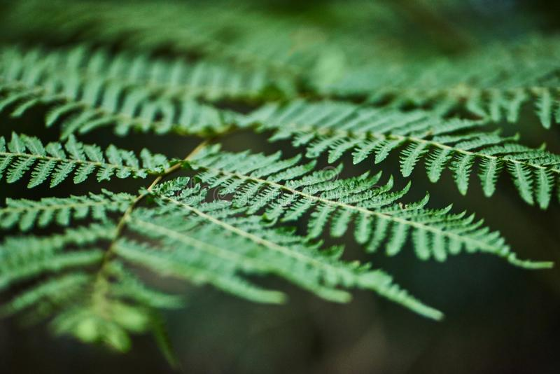 Los helechos de Beautyful salen follaje verde de backgro floral natural del helecho fotos de archivo libres de regalías