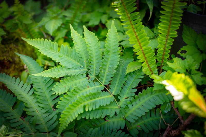 Los helechos hermosos se ponen verde dejan el helecho natural en el bosque y el fondo natural en luz del sol imagen de archivo libre de regalías