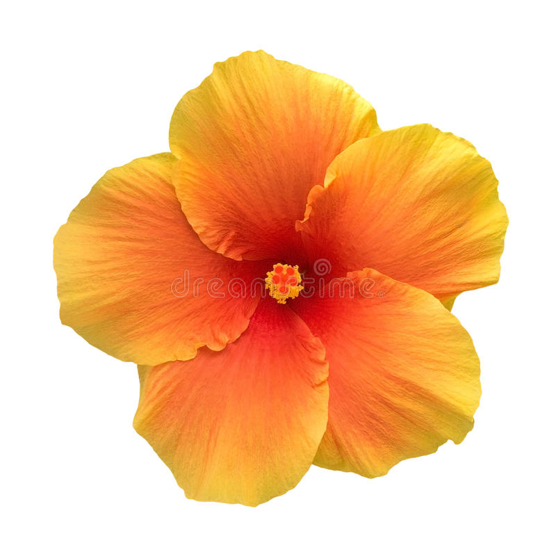 Los hibiscos anaranjados del color florecen la visión superior aislados en el fondo blanco, trayectoria imagenes de archivo
