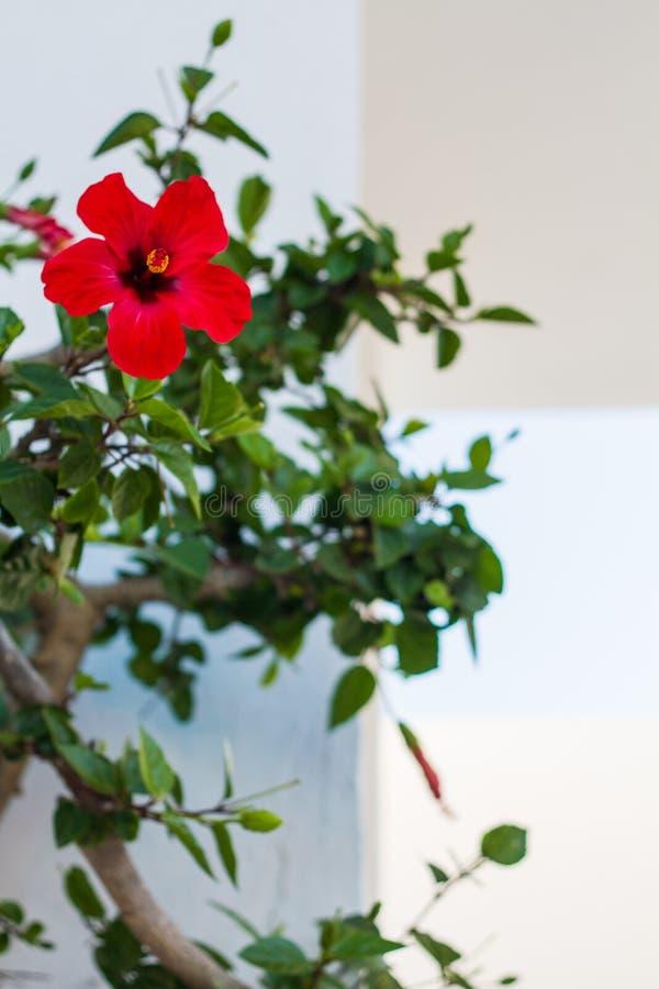 Los hibiscos plantan en Oia imagen de archivo libre de regalías