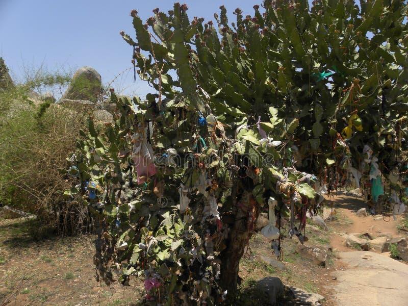 Los hilos coloridos y los artículos del pooja atados a un cactus plantan como parte del ritual imagen de archivo
