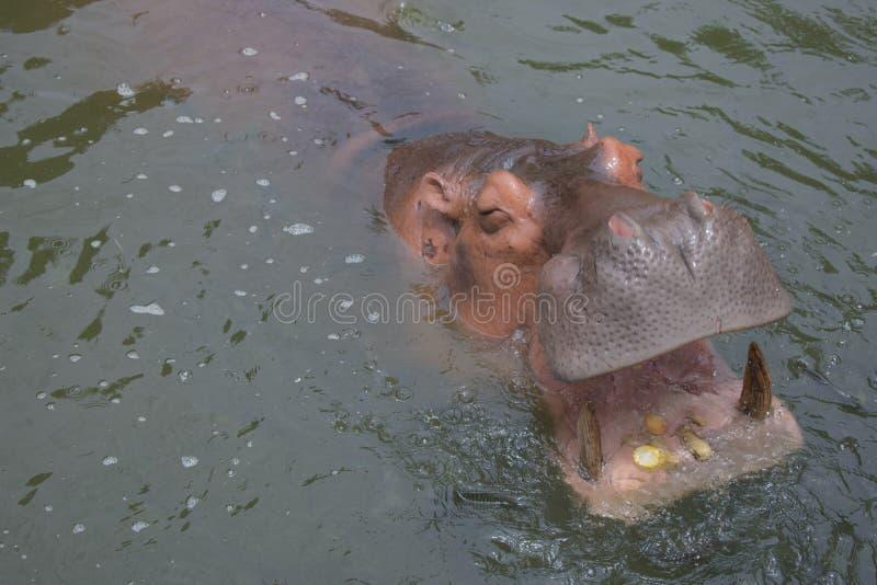 Los hipopótamos están comiendo maíz en el agua como hambre foto de archivo libre de regalías