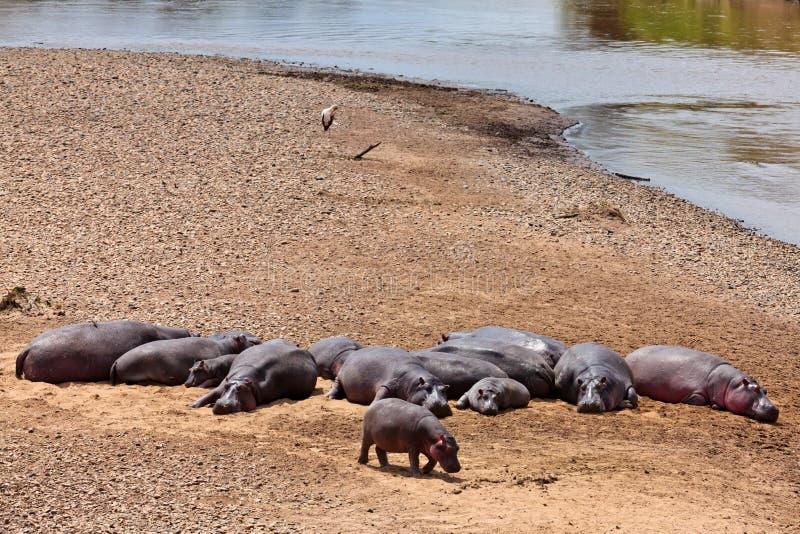 Los hipopótamos están tomando el sol en el sol en la batería arenosa imagen de archivo libre de regalías