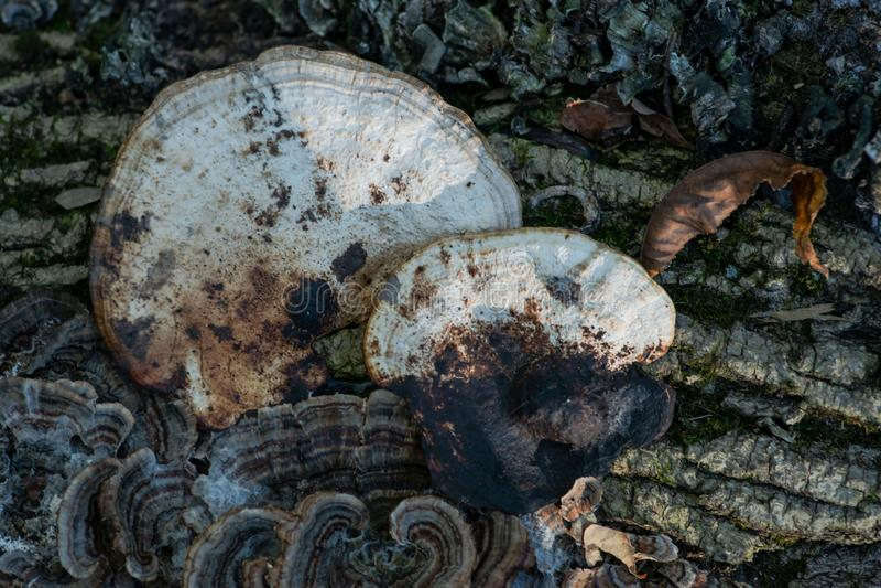 Los hongos en el árbol muerto Trametes versicolor, llamaron a menudo la cola del pavo, miembro de la comunidad fungicida de las a foto de archivo libre de regalías