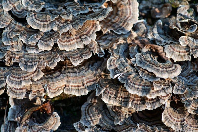 Los hongos en el árbol muerto Trametes versicolor, llamaron a menudo la cola del pavo, miembro de la comunidad fungicida de las a imágenes de archivo libres de regalías