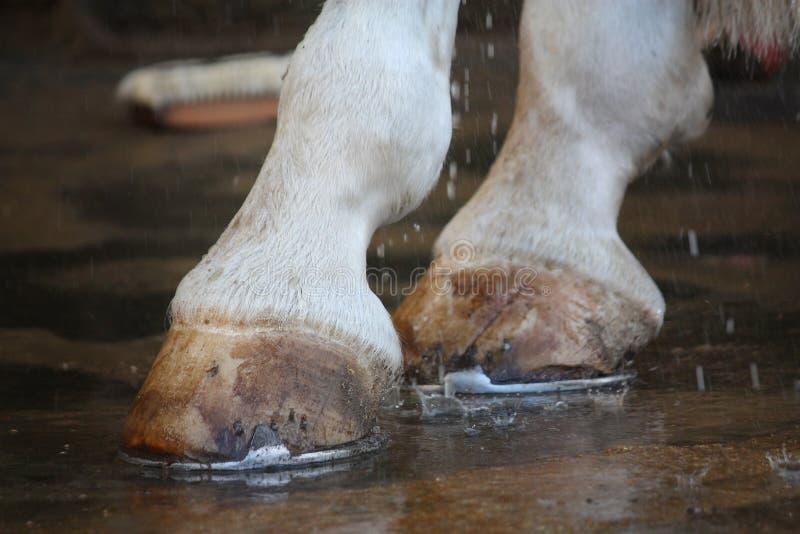 Los hoofs del caballo se cierran para arriba con los zapatos fotografía de archivo