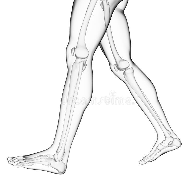 Los huesos de la pierna libre illustration