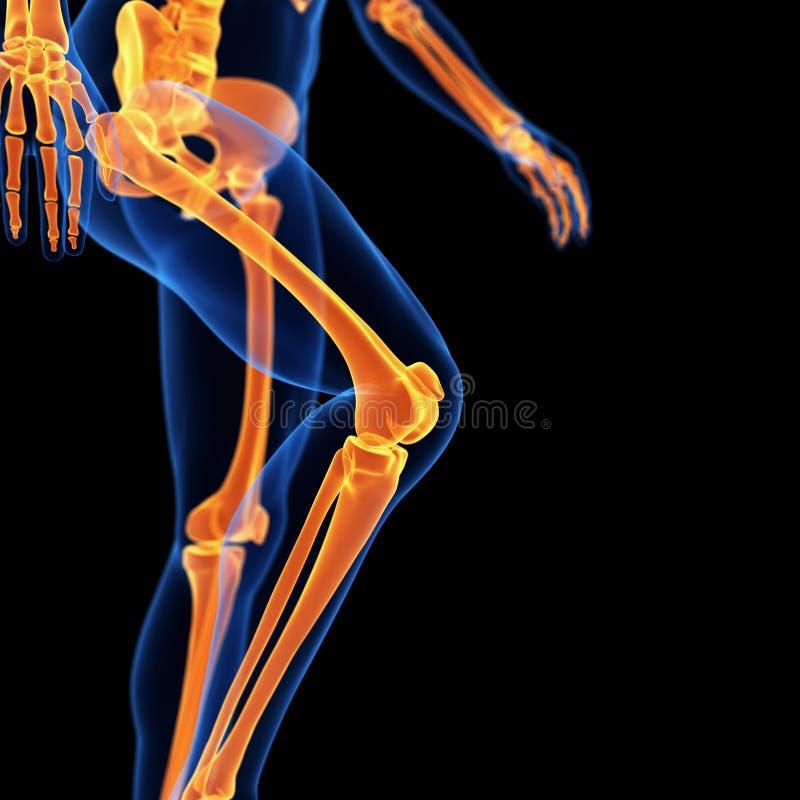 Los huesos de la pierna ilustración del vector