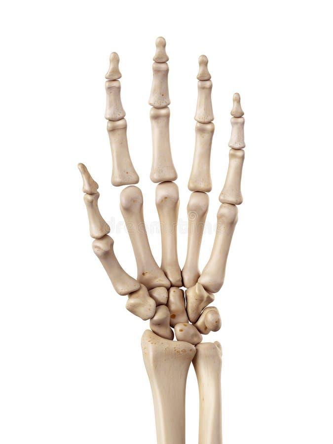 Los huesos de mano stock de ilustración. Ilustración de dedo - 56652072
