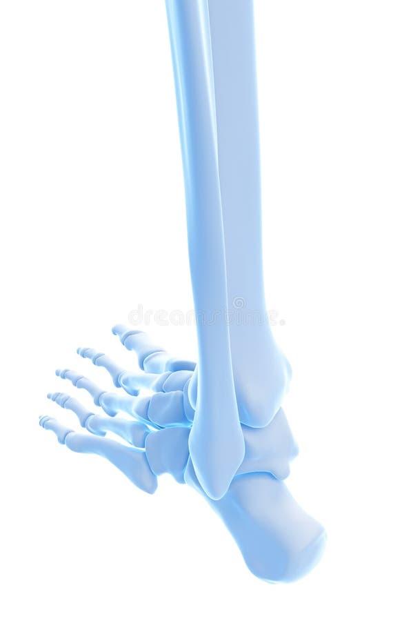 Los huesos del tobillo stock de ilustración. Ilustración de ...
