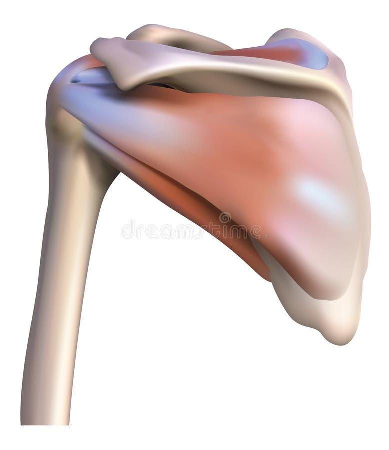 Los Huesos Y Los Músculos Del Hombro Ilustración del Vector ...