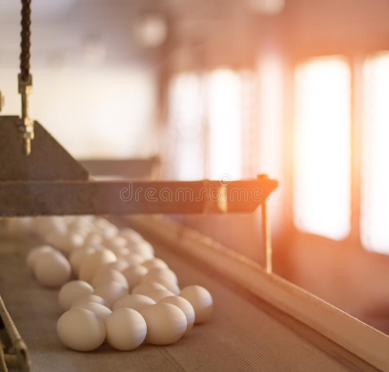 Los huevos del pollo se mueven a lo largo del transportador en la granja de pollo, la producción de huevos en la granja avícola m imagen de archivo