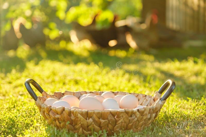 Los huevos orgánicos frescos naturales de la granja en la cesta, naturaleza del fondo de la hierba son la hora de oro fotografía de archivo