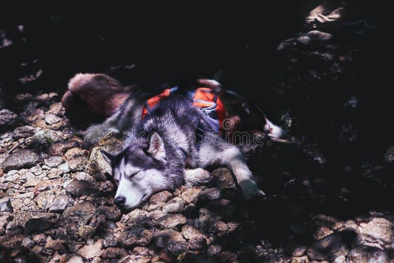 Los huskyes siberianos duermen en la sombra de un árbol en la orilla rocosa El perro fornido duerme por la tarde caliente en la s imagen de archivo