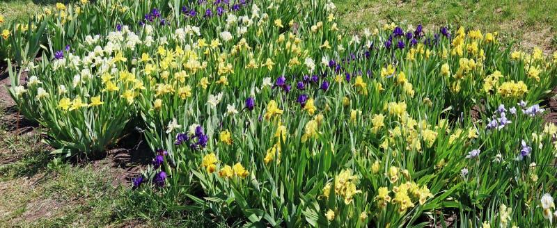 Los iris amarillos y azules florecen el flor en una cama de flor de la primavera fotos de archivo libres de regalías