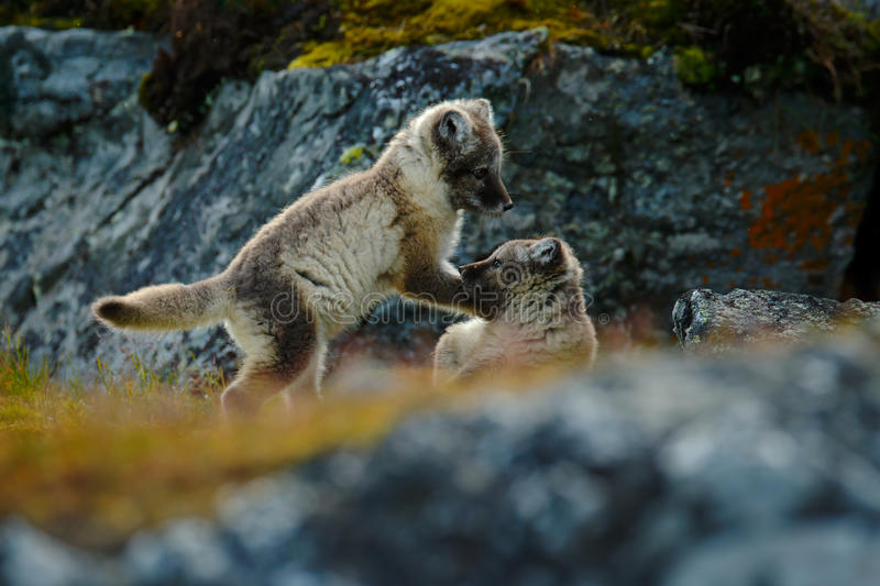 Los jóvenes luchan pequeños zorros lindos Fox ártico, lagopus del Vulpes, dos jóvenes en el hábitat de la naturaleza Zorros en pr fotos de archivo libres de regalías