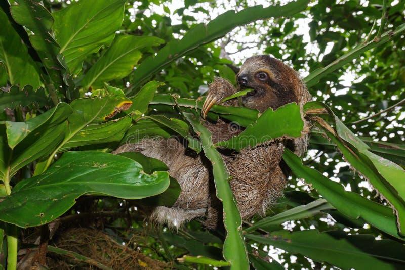 Los jóvenes tres-tocaron con la punta del pie la pereza que comía la hoja en la selva fotografía de archivo