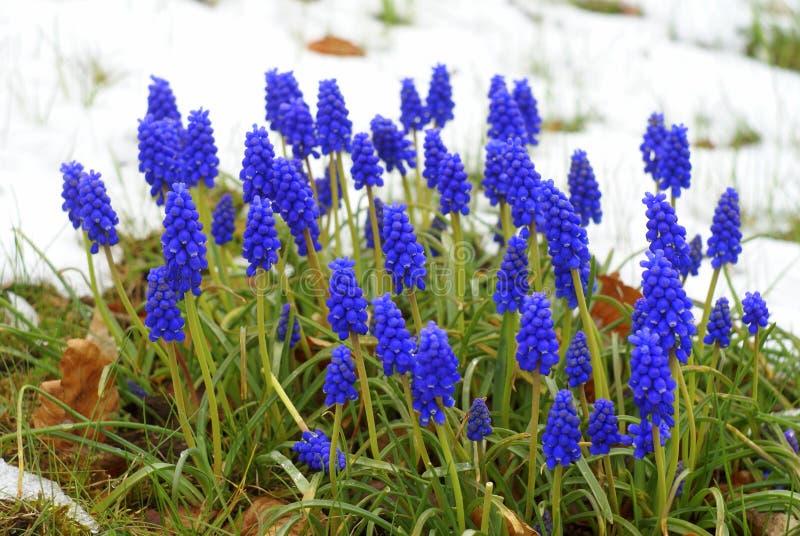 Los jacintos de uva azules en la nieve, muscari florecen imágenes de archivo libres de regalías
