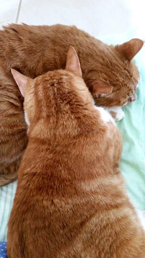 Los Jengibre-gatos de Cat Cats Felino-se acurrucan gatitos foto de archivo libre de regalías