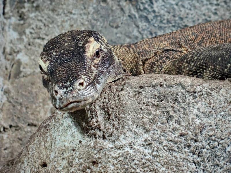 Los lagartos de monitor son lagartos grandes en el g?nero Varanus La especie moderna m?s grande del g?nero es drag?n de Komodo fotografía de archivo libre de regalías