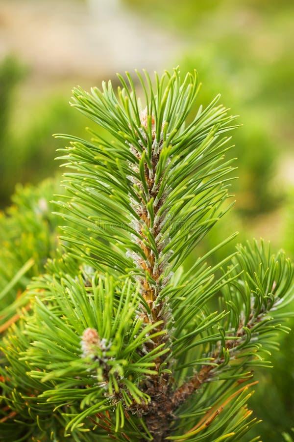 Los lanzamientos jovenes de los árboles de pino en el bosque saltan foto de archivo libre de regalías