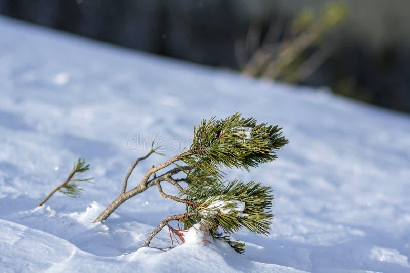 Los lanzamientos jovenes del árbol de pino con las agujas largas verdes doblaron por el viento cubierto con nieve limpia fresca p fotos de archivo