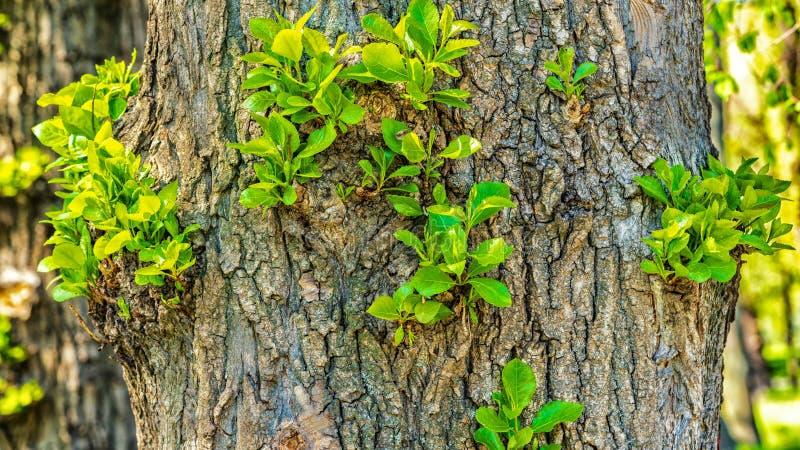 Los lanzamientos verdes crecen en un ?rbol, imagen de archivo libre de regalías