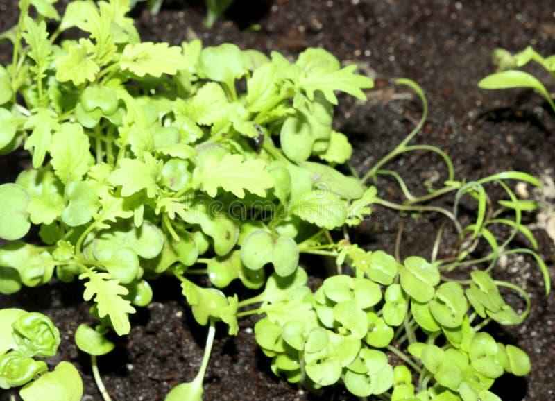 Los lanzamientos verdes de los almácigos emergen del suelo Arugula del foco selectivo imagen de archivo libre de regalías