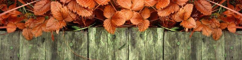 Los lanzamientos y las hojas jovenes de los arbustos de fresa brillantes sin las bayas crecen cerca de la calzada de madera foto de archivo