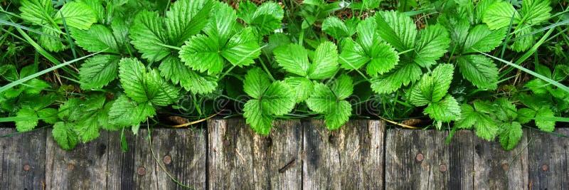 Los lanzamientos y las hojas jovenes de los arbustos de fresa brillantes sin las bayas crecen cerca de la calzada de madera fotografía de archivo libre de regalías