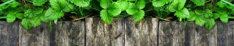 Los lanzamientos y las hojas jovenes de los arbustos de fresa brillantes sin las bayas crecen cerca de la calzada de madera foto de archivo libre de regalías