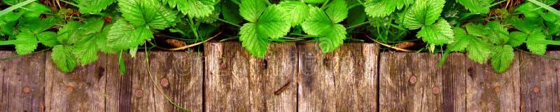 Los lanzamientos y las hojas jovenes de los arbustos de fresa brillantes sin las bayas crecen cerca de la calzada de madera imagen de archivo libre de regalías