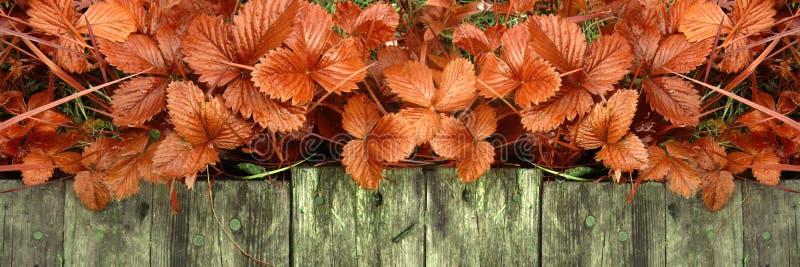 Los lanzamientos y las hojas jovenes de los arbustos de fresa brillantes sin las bayas crecen cerca de la calzada de madera imagen de archivo