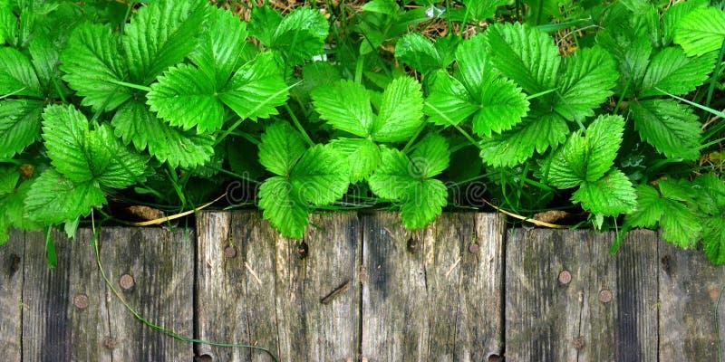 Los lanzamientos y las hojas jovenes de los arbustos de fresa brillantes sin las bayas crecen cerca de la calzada de madera fotografía de archivo