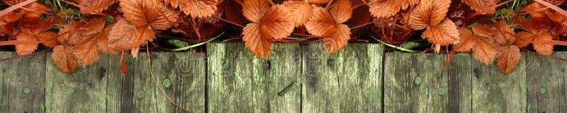 Los lanzamientos y las hojas jovenes de los arbustos de fresa brillantes sin las bayas crecen cerca de la calzada de madera imagenes de archivo