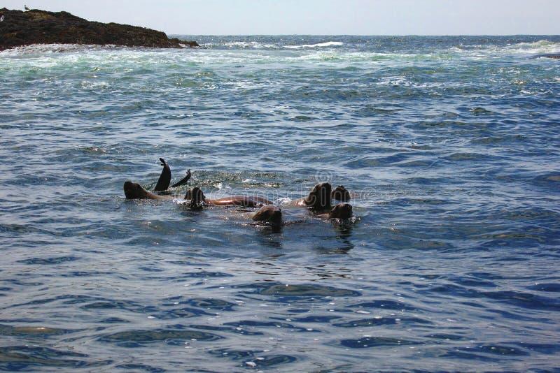 Los leones marinos de Steller de los jóvenes, jubatus del Eumetopias, jugando en el océano, el Pacífico Rim National Park, isla d foto de archivo