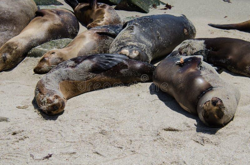 Los leones marinos toman el sol en una colina en La Jolla California en la arena de la playa imagenes de archivo