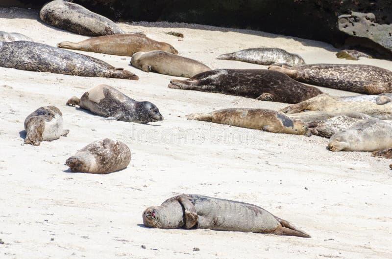 Los leones marinos toman el sol en una colina en La Jolla California en la arena de la playa fotografía de archivo