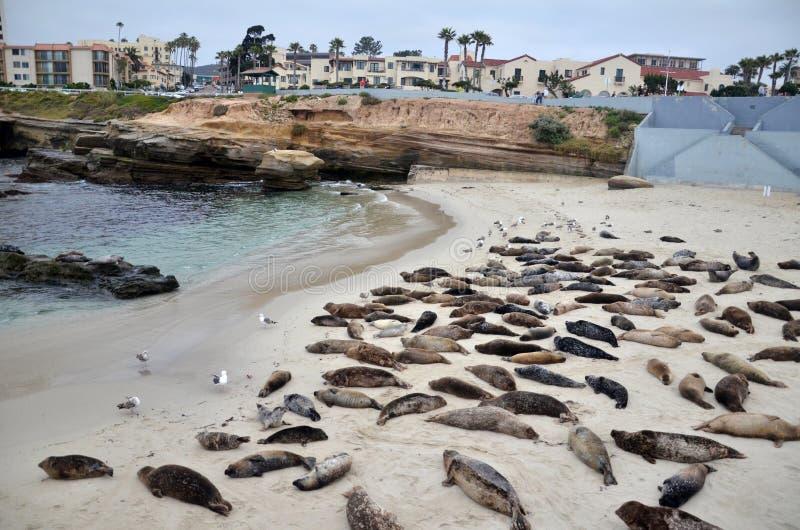Los leones marinos toman el sol en una colina en La Jolla California en la arena de la playa imagen de archivo