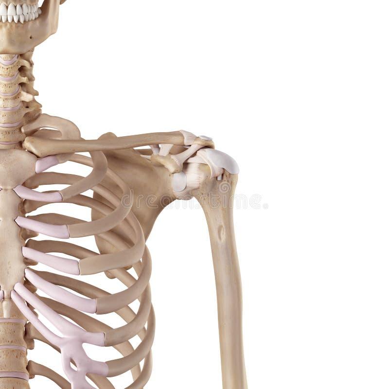 Los ligamentos del hombro stock de ilustración. Ilustración de ...