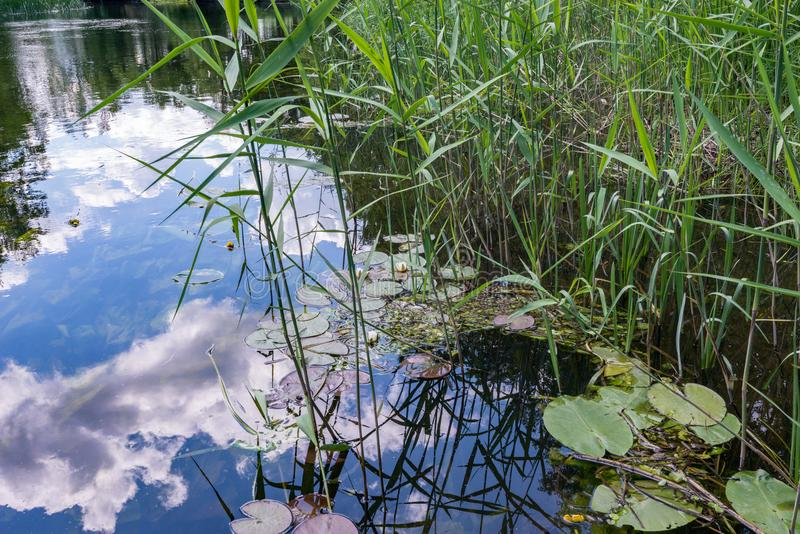 Los lirios, los lirios de agua y las cañas son acogedores acurrucados en los remansos del río con una reflexión de nubes imagen de archivo libre de regalías