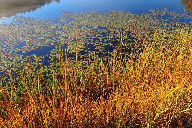 Los lirios de agua y vieron la hierba fotos de archivo