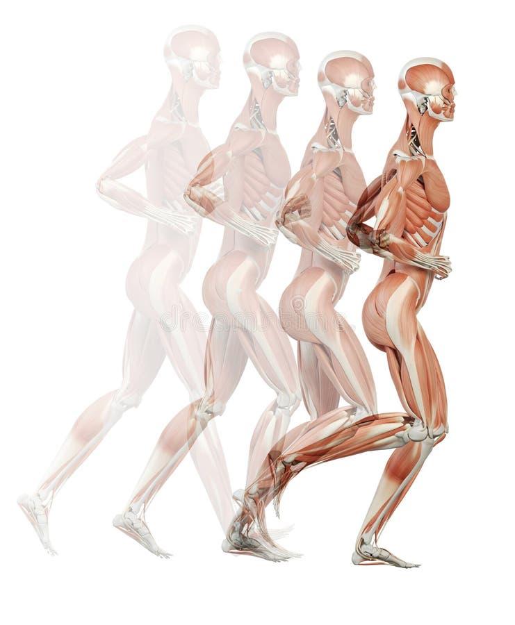 Los músculos ilustración del vector