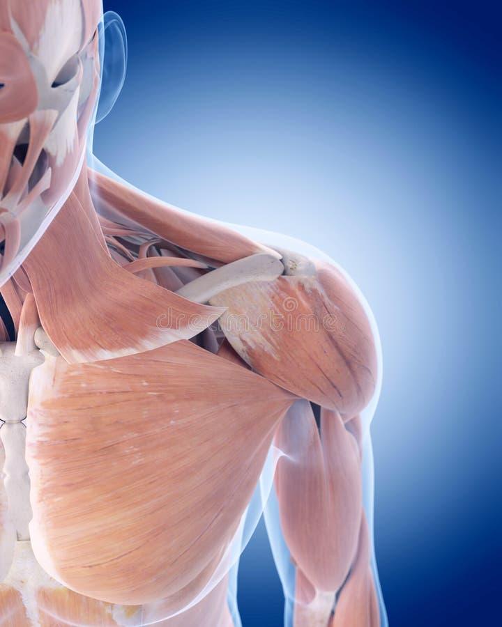 Los músculos anteriores del hombro stock de ilustración