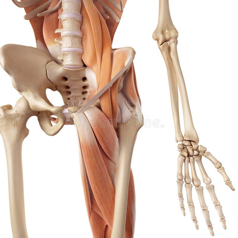 Los Músculos De La Cadera Y De La Pierna Stock de ilustración ...