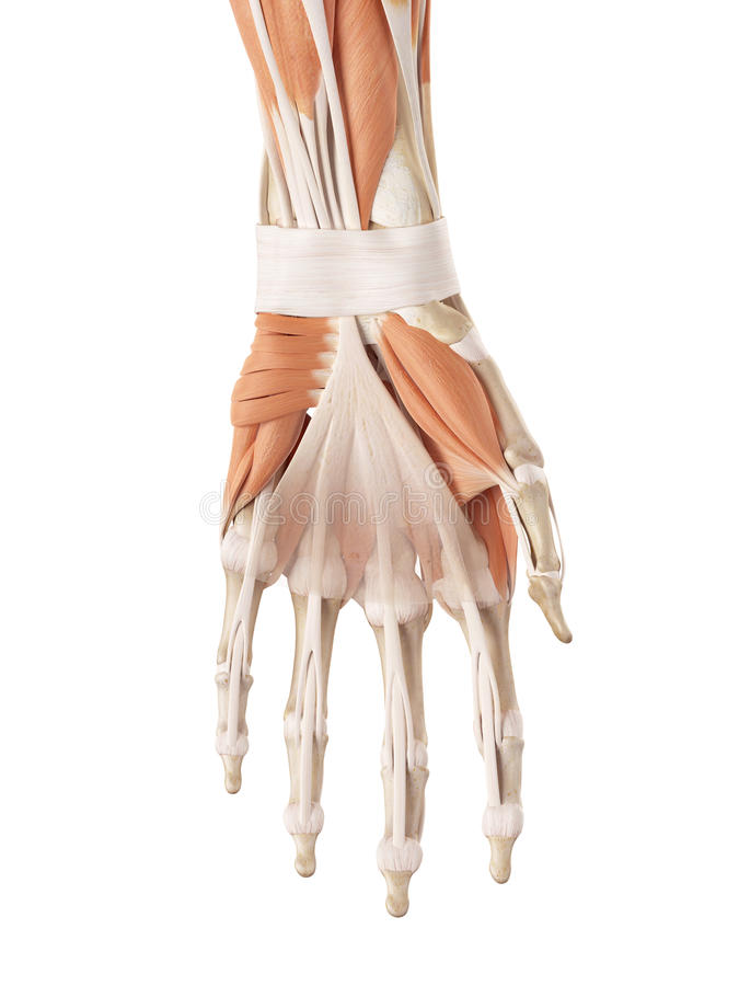 Los músculos de la mano stock de ilustración. Ilustración de ...