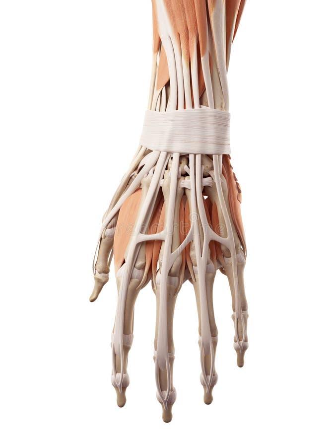 Los músculos de la mano stock de ilustración. Ilustración de muñeca ...