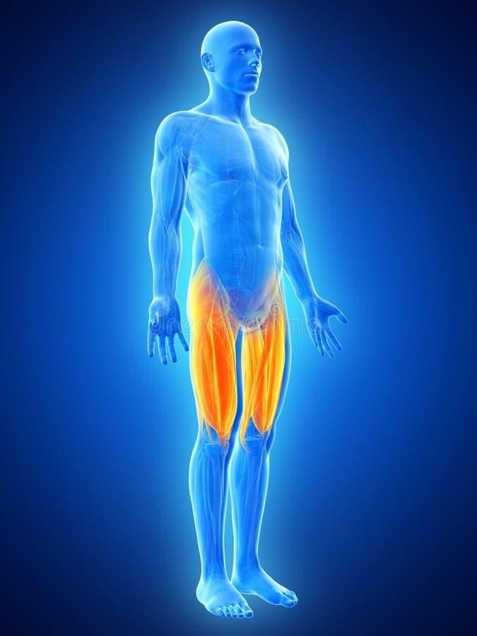 Los músculos de la pierna de la parte superior ilustración del vector