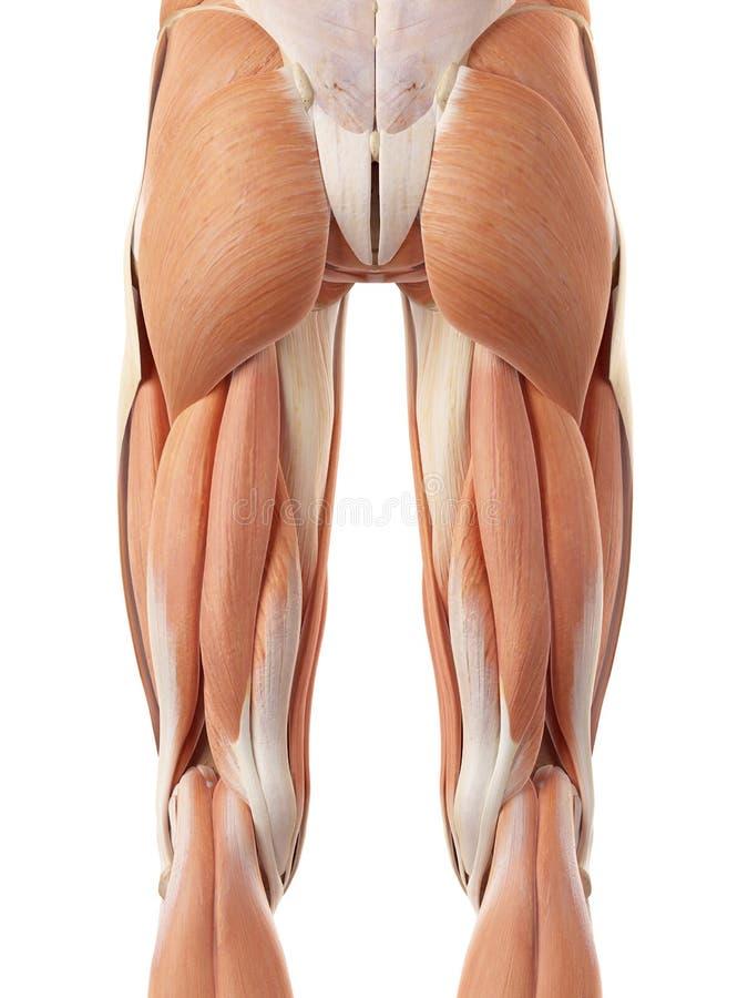 Los músculos de la pierna del trasero stock de ilustración