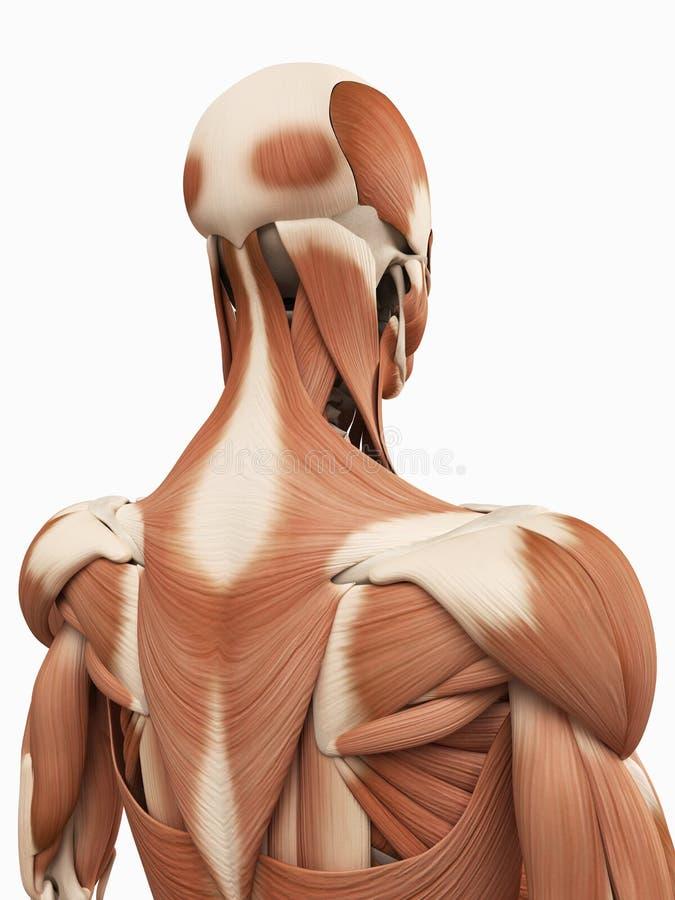 Los Músculos De Parte Superior De La Espalda Stock de ilustración ...